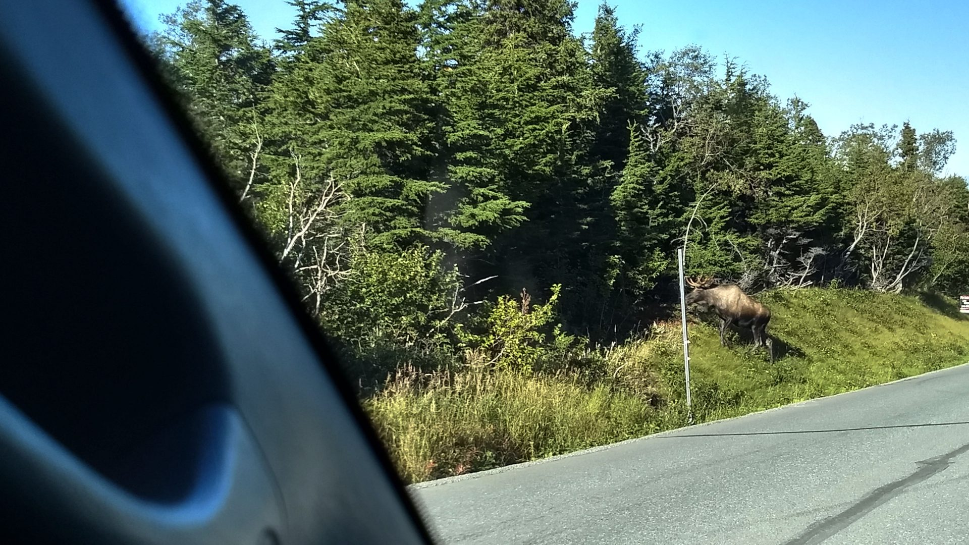 Moose on the side of the road