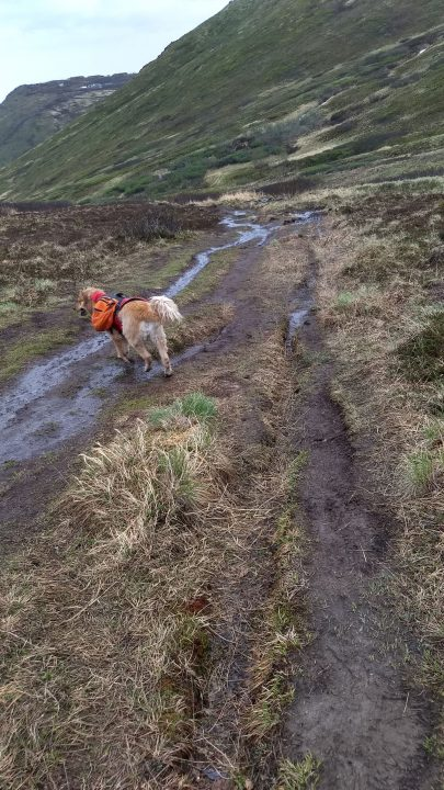 Golden retriever hiking with backpack