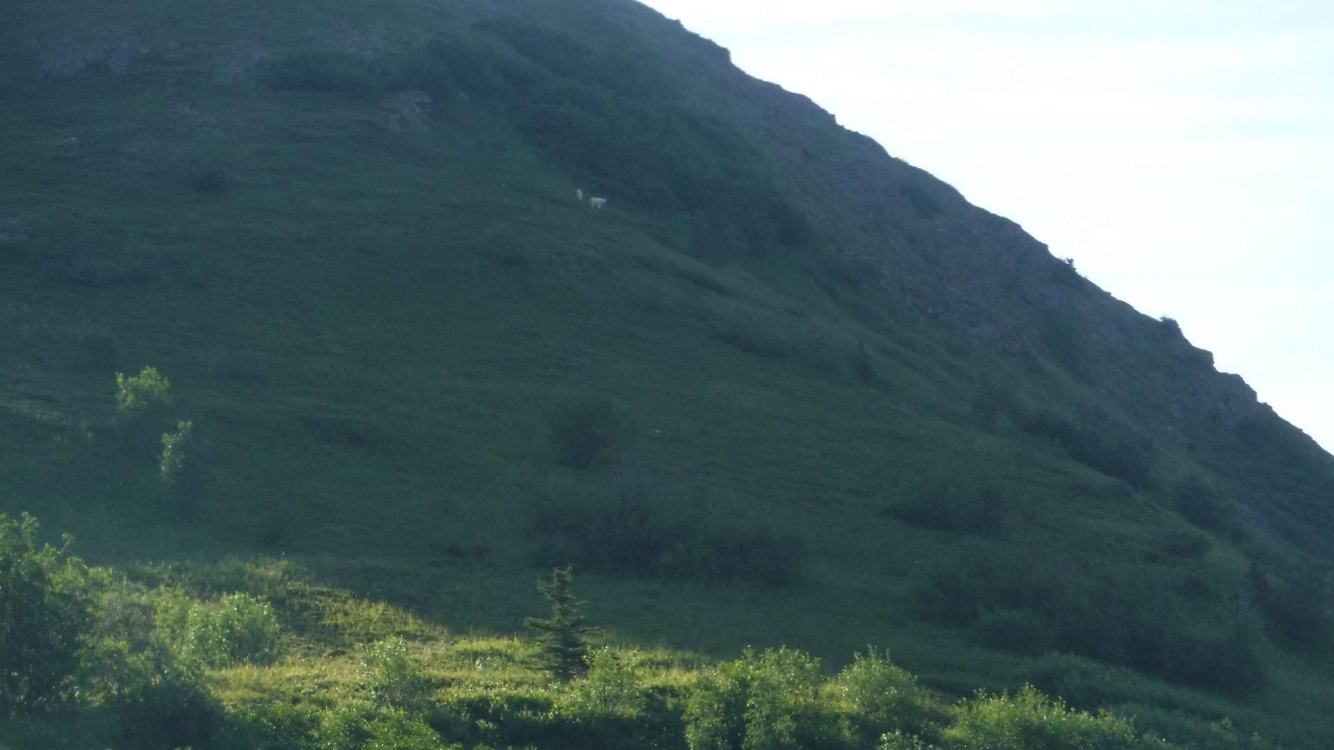 Mountain goats in the Chugach Mountains of Alaska